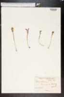 Image of Sedum villosum