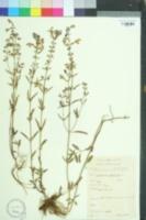 Scutellaria integrifolia image