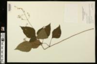 Image of Collinsonia tuberosa