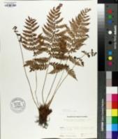 Anisocampium niponicum image
