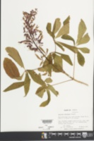 Image of Aesculus splendens