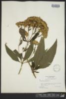 Eutrochium purpureum image