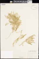 Rorippa curvisiliqua image