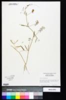 Vicia acutifolia image