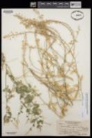 Halimolobos jaegeri image