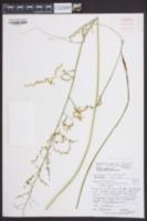 Stenanthium gramineum var. micranthum image