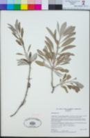 Salvia apiana image