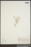 Nemacladus glanduliferus image