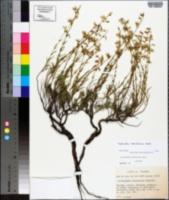 Image of Dicerandra cornutissima