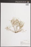 Arenaria groenlandica image