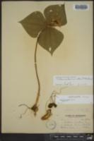 Trillium erectum var. album image