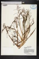 Paspalum repens var. fluitans image