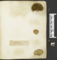 Lenzites bicolor image
