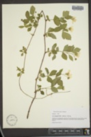 Image of Rubus nefrens