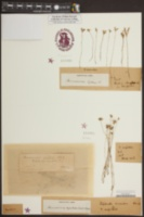 Burmannia biflora image