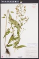 Symphyotrichum oolentangiense var. oolentangiense image