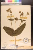 Silphium perfoliatum var. connatum image
