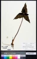 Trillium decipiens image