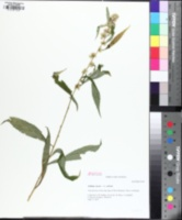 Image of Solidago curtisii