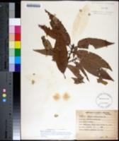 Image of Quercus castanea