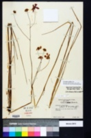 Coreopsis nudata image