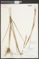 Coelorachis rugosa image