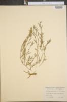 Image of Allocarya californica