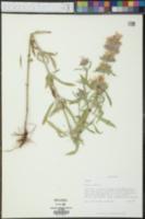 Monarda citriodora image