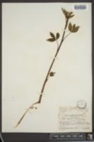 Image of Rubus sejunctus