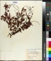 Chamaecrista lineata image
