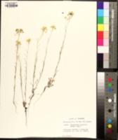 Physaria angustifolia image