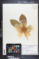 Image of Camellia crapnelliana
