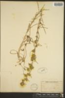 Image of Hemizonia mollis
