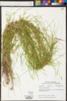 Image of Panicum condensatum