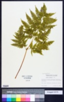 Image of Pteris tremula