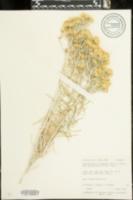 Ericameria nauseosa var. nauseosa image