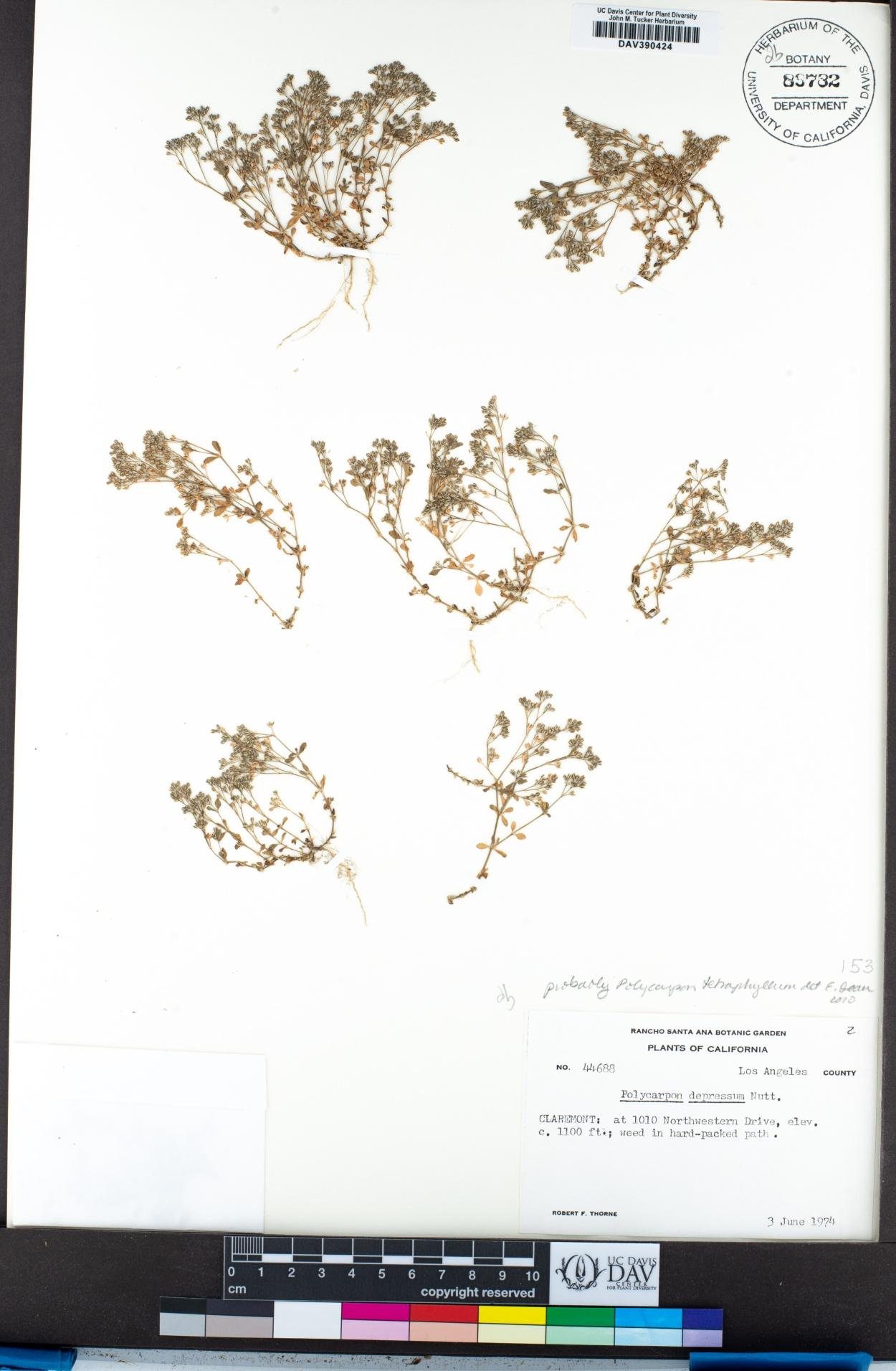 Polycarpon image