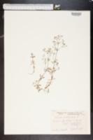Image of Galium austriacum