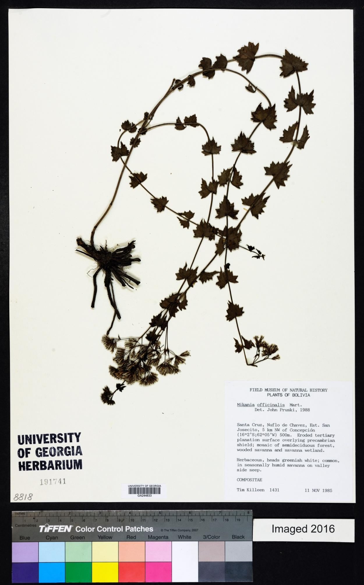 Mikania officinalis image