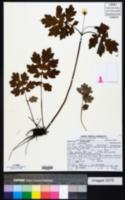 Stylophorum diphyllum image