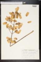 Image of Bryophyllum proliferum