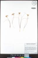 Allium lacunosum var. davisiae image