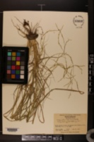 Eragrostis tef image