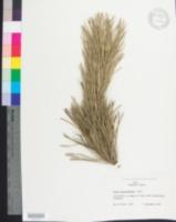 Image of Pinus tabulaeformis