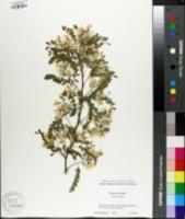 Image of Sophora davidii