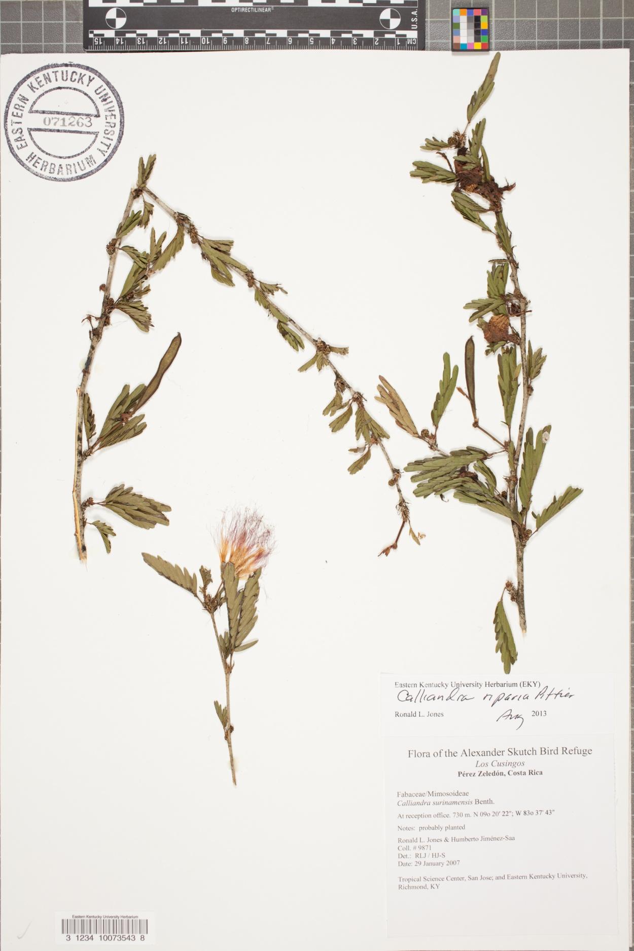Calliandra riparia image