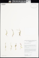 Image of Epilobium anagallidifolium