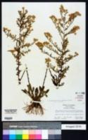Symphyotrichum pilosum var. pilosum image