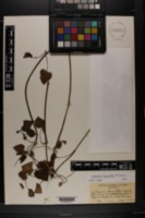 Image of Valeriana pauciflora