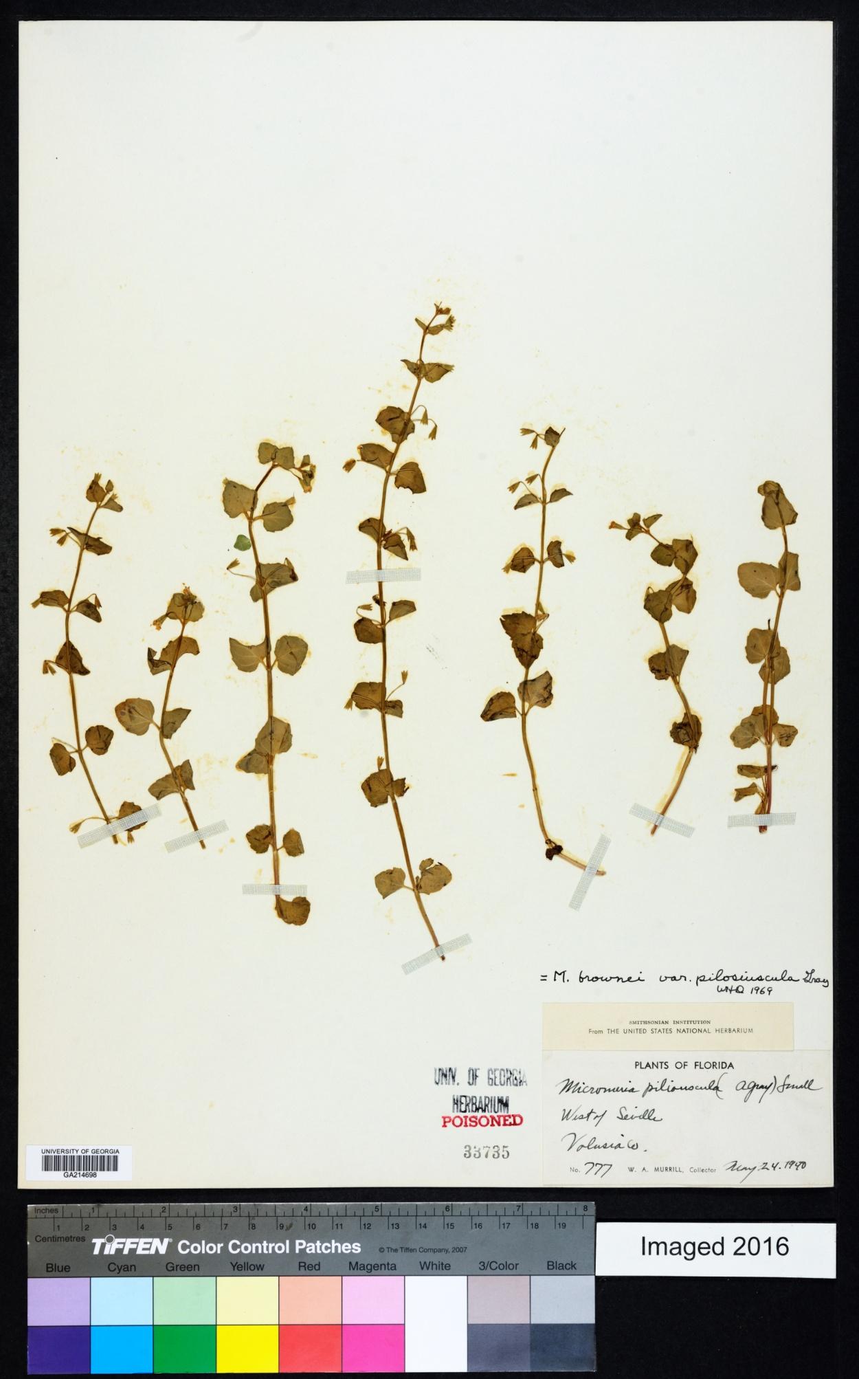 Micromeria image